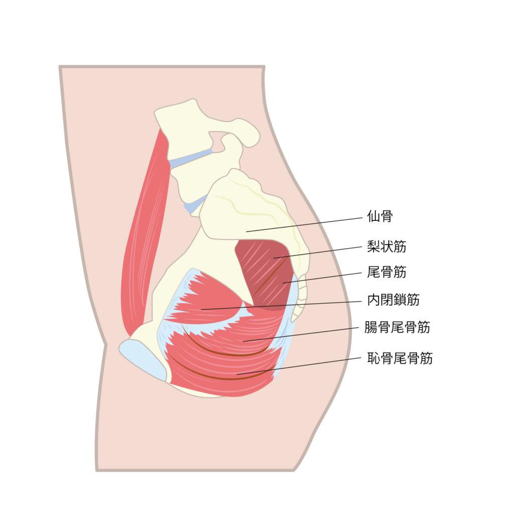 筋 の 低 鍛え 方 骨盤